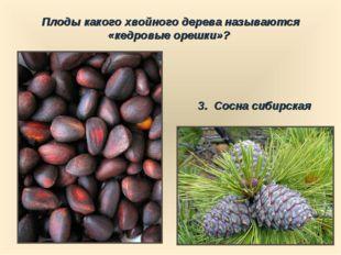 Плоды какого хвойного дерева называются «кедровые орешки»? 3. Сосна сибирская