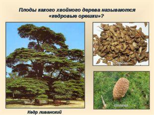 Плоды какого хвойного дерева называются «кедровые орешки»? Шишка Семена Кедр