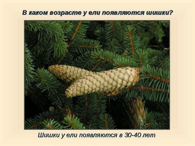 Шишки у ели появляются в 30-40 лет В каком возрасте у ели появляются шишки?