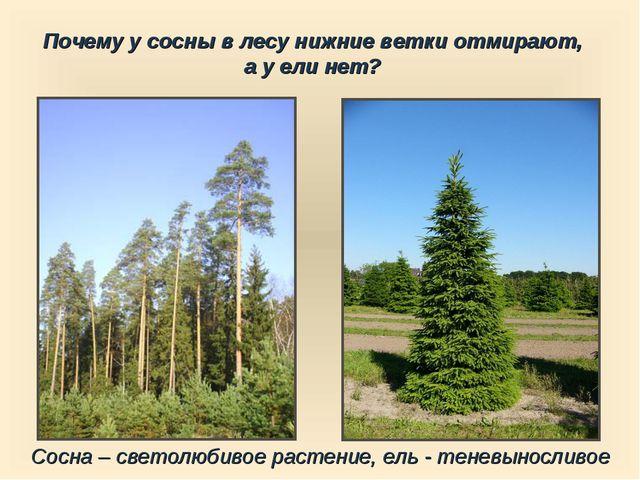 Сосна – светолюбивое растение, ель - теневыносливое Почему у сосны в лесу ниж...