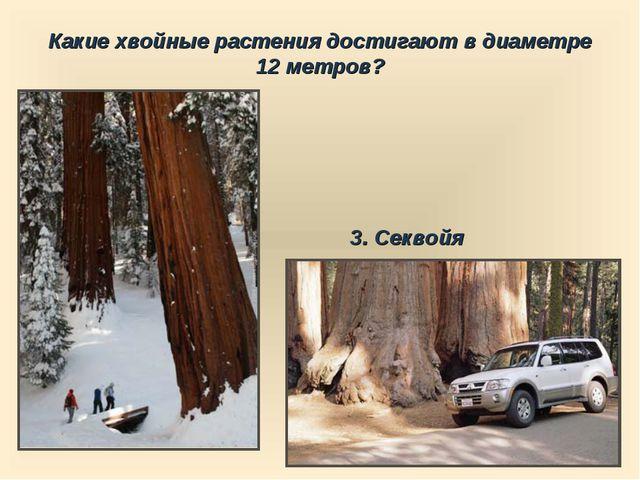 Какие хвойные растения достигают в диаметре 12 метров? 3. Секвойя