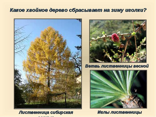 Какое хвойное дерево сбрасывает на зиму иголки? Лиственница сибирская осенью...