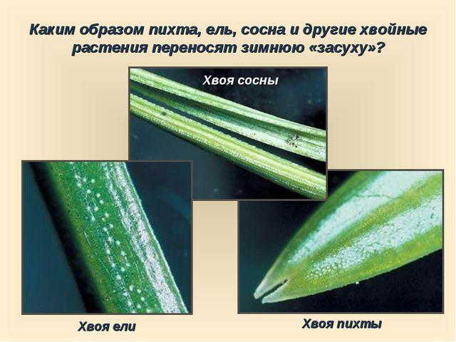 Каким образом пихта, ель, сосна и другие хвойные растения переносят зимнюю «з...