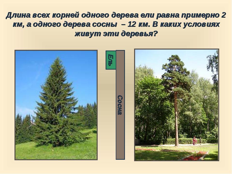 Длина всех корней одного дерева ели равна примерно 2 км, а одного дерева сосн...