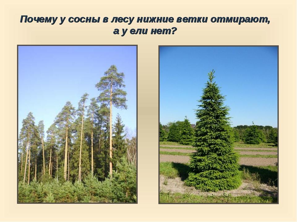 Почему у сосны в лесу нижние ветки отмирают, а у ели нет?