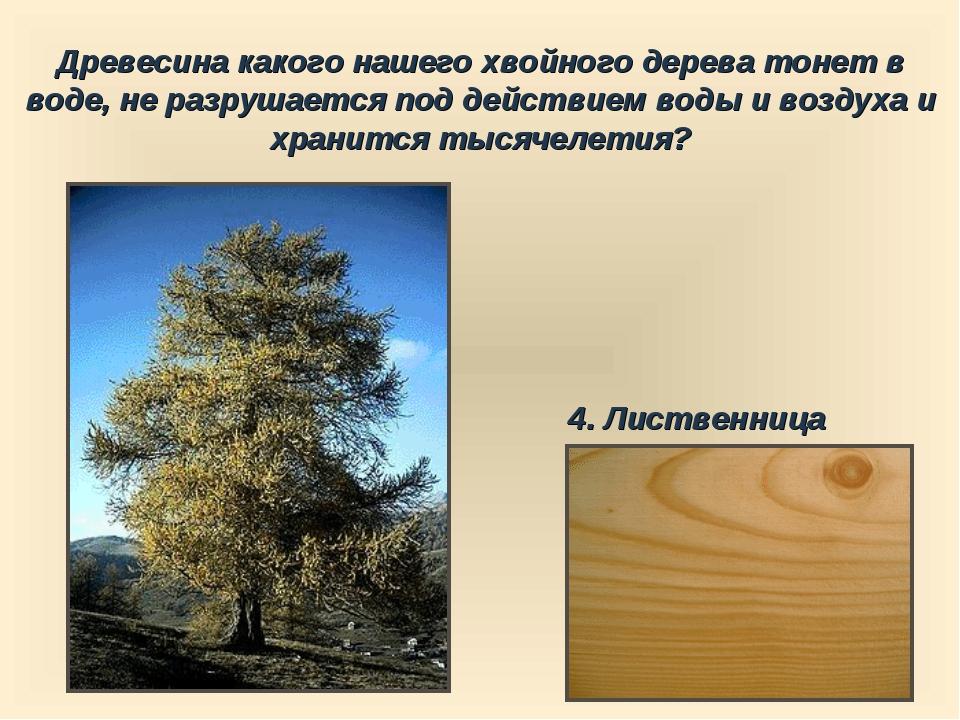Древесина какого нашего хвойного дерева тонет в воде, не разрушается под дейс...
