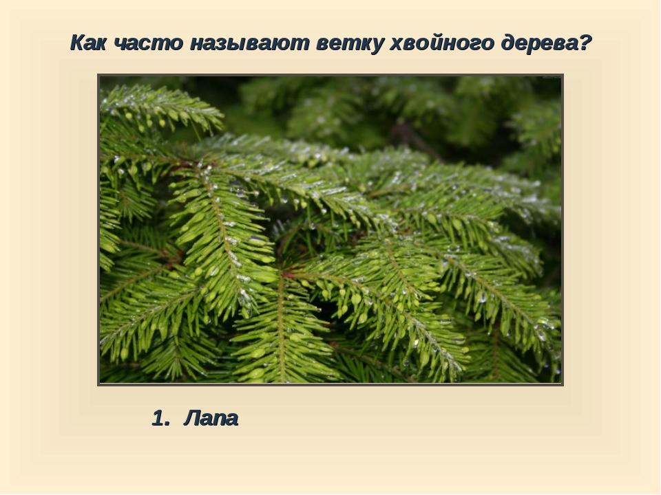 Как часто называют ветку хвойного дерева? Лапа
