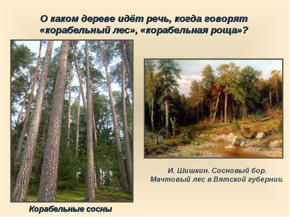 О каком дереве идёт речь, когда говорят «корабельный лес», «корабельная роща»...
