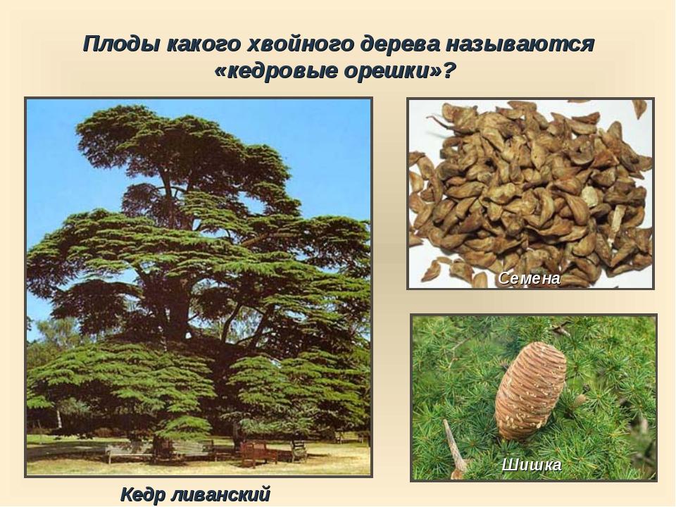 Плоды какого хвойного дерева называются «кедровые орешки»? Шишка Семена Кедр...