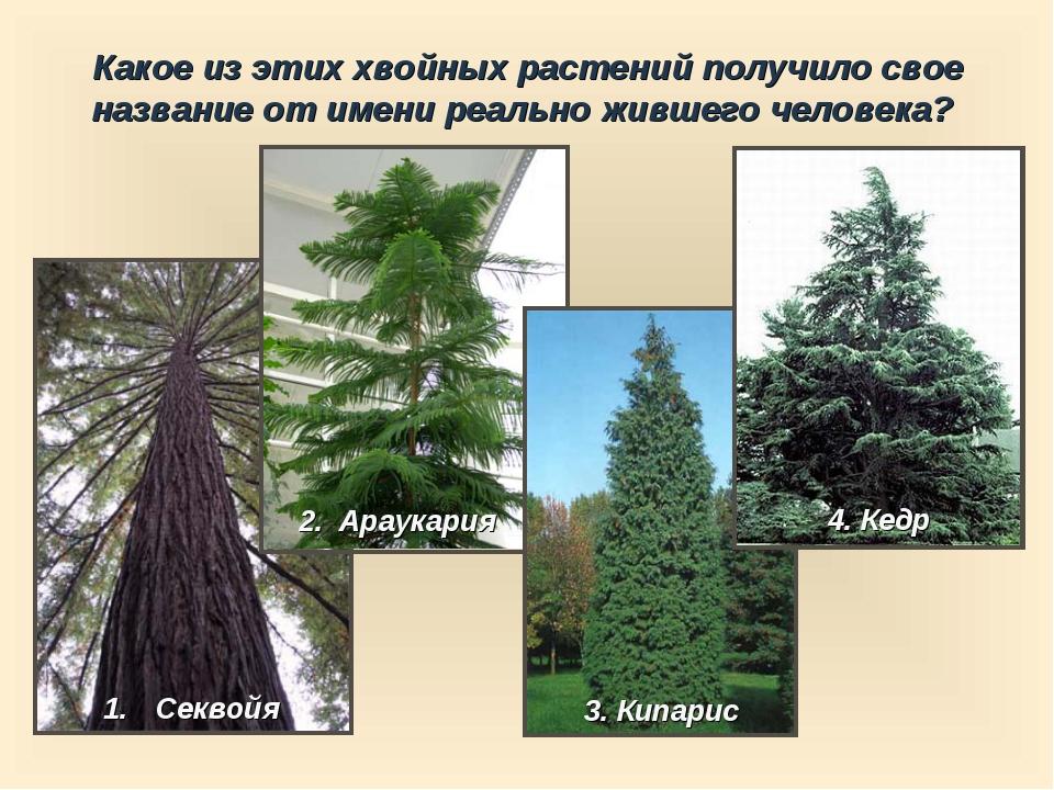 Какое из этих хвойных растений получило свое название от имени реально жившег...