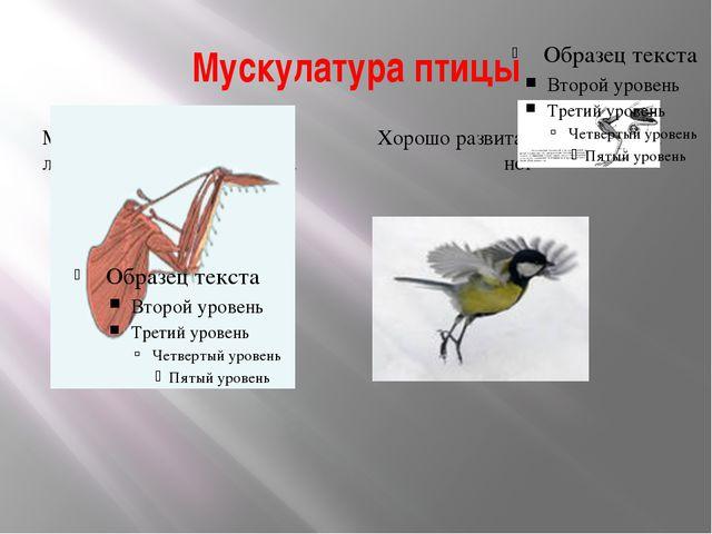 Мускулатура птицы Мускулатура , особенно летательная, сильно развита Хорошо р...