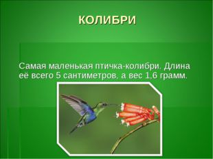 КОЛИБРИ Самая маленькая птичка-колибри. Длина её всего 5 сантиметров, а вес 1