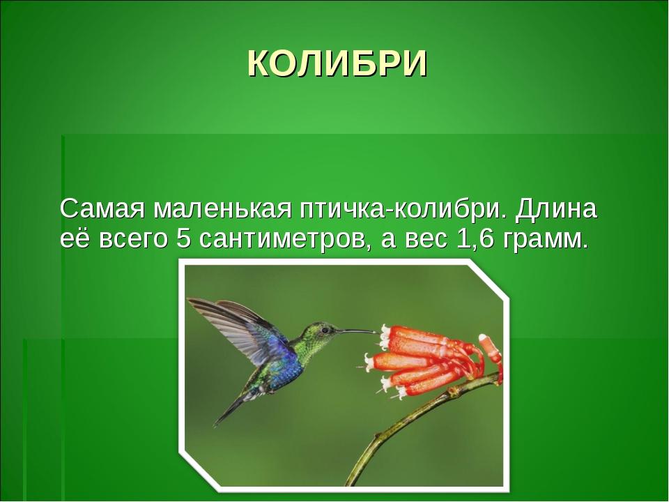 КОЛИБРИ Самая маленькая птичка-колибри. Длина её всего 5 сантиметров, а вес 1...