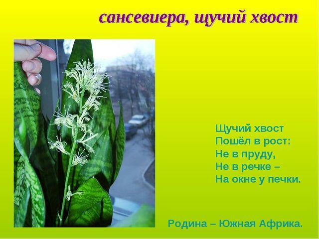 Щучий хвост Пошёл в рост: Не в пруду, Не в речке – На окне у печки. Родина –...