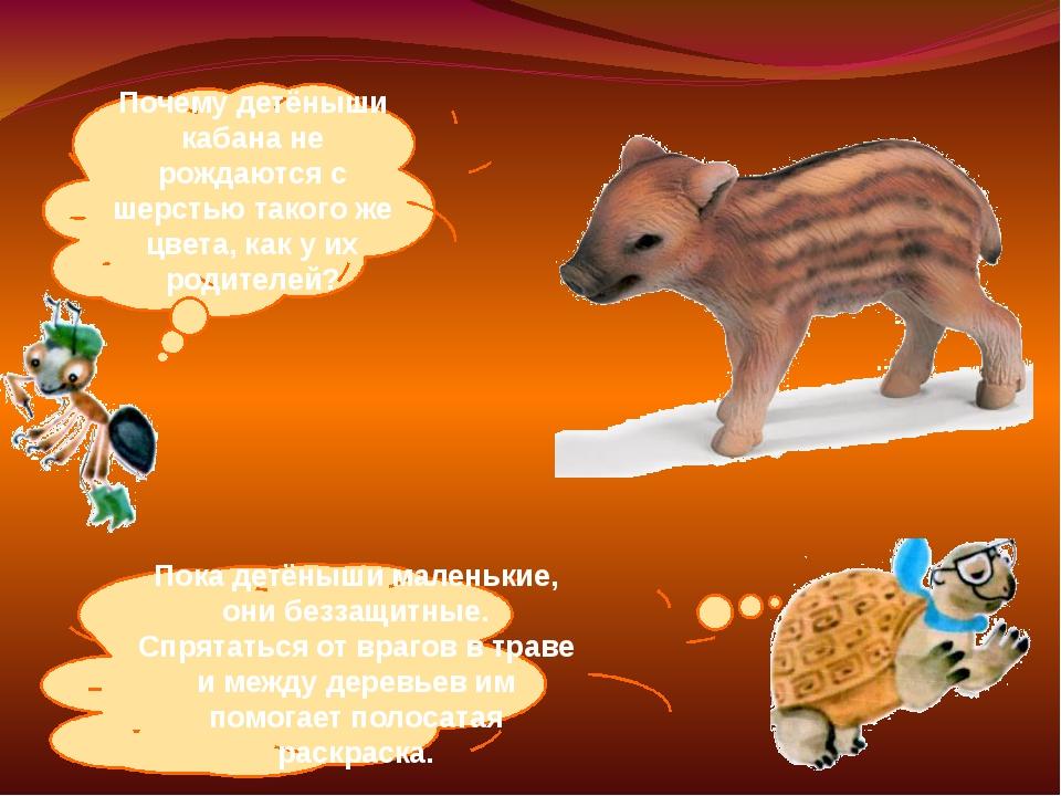 Почему детёныши кабана не рождаются с шерстью такого же цвета, как у их родит...