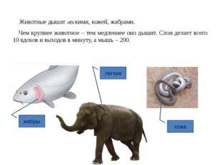 Животные дышат легкими, кожей, жабрами. Чем крупнее животное – тем медленнее