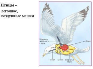 Птицы – легочное, воздушные мешки