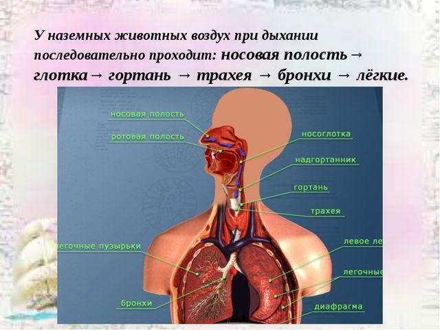 У наземных животных воздух при дыхании последовательно проходит: носовая поло...