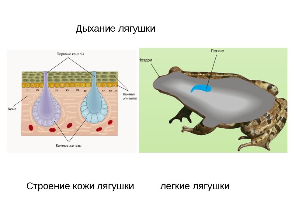 Строение кожи лягушки легкие лягушки Дыхание лягушки