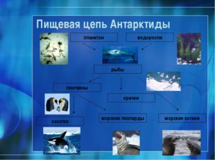 Пищевая цепь Антарктиды планктон рыбы водоросли пингвины морские леопарды мор