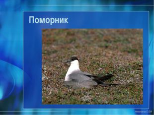 Поморник Николаева С.Б.®