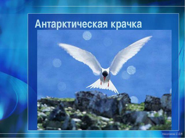 Антарктическая крачка Николаева С.Б.®