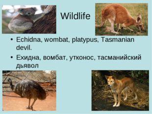 Wildlife Echidna, wombat, platypus, Tasmanian devil. Ехидна, вомбат, утконос,