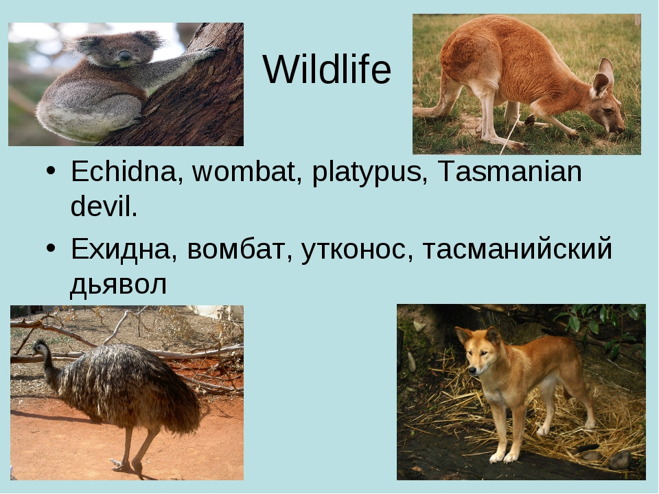 Wildlife Echidna, wombat, platypus, Tasmanian devil. Ехидна, вомбат, утконос,...