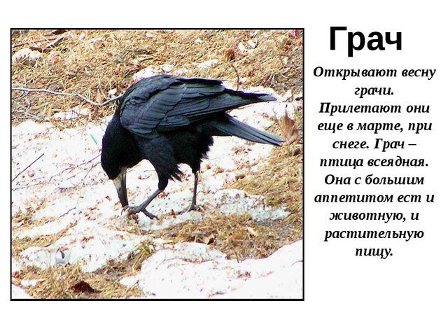 Грач Открывают весну грачи. Прилетают они еще в марте, при снеге. Грач – птиц...