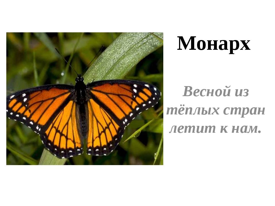 Весной из тёплых стран летит к нам. Монарх