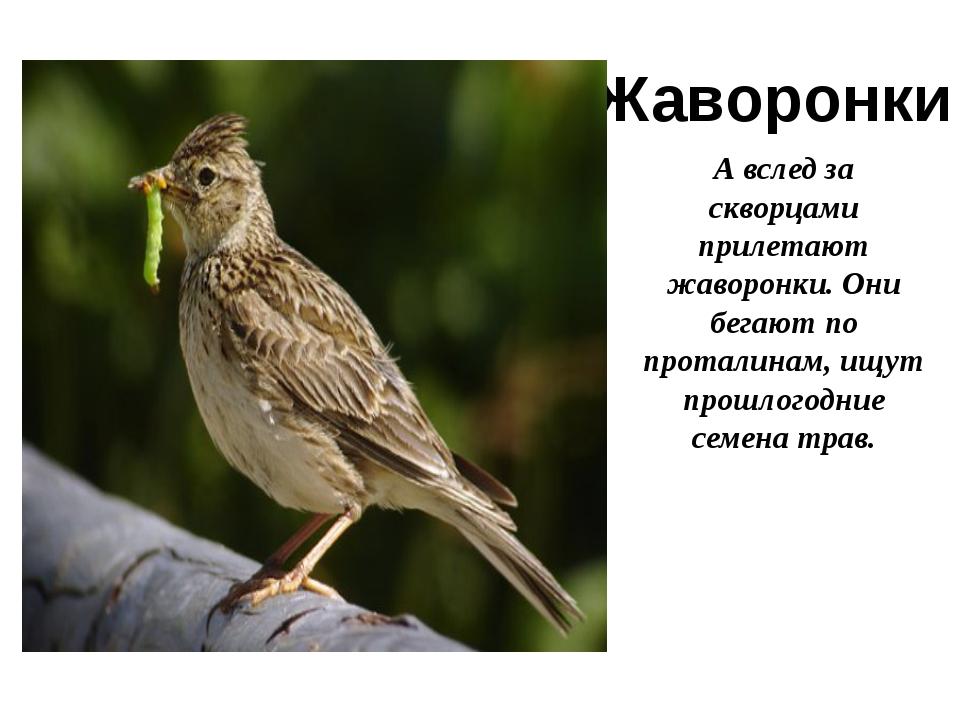 Жаворонки А вслед за скворцами прилетают жаворонки. Они бегают по проталинам,...