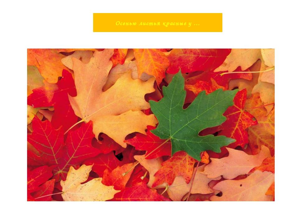 Осенью листья красные у …