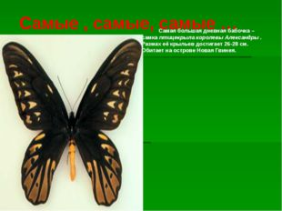Самые , самые, самые … Самая большая дневная бабочка – самка птицекрыла корол