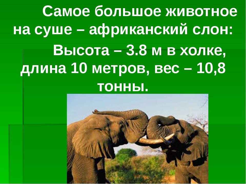Самое большое животное на суше – африканский слон: Высота – 3.8 м в холке, д...