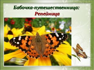 Бабочка-путешественница: Репейница