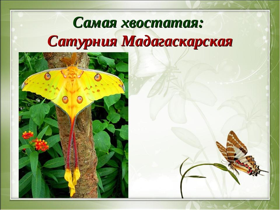 Самая хвостатая: Сатурния Мадагаскарская