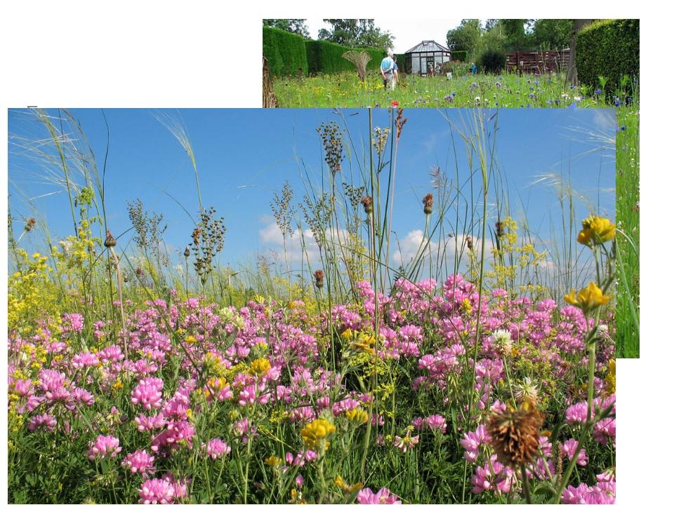 Главные растения луга – МНОГОЛЕТНИЕ ТРАВЫ. Травы плотно примыкают друг к дру...