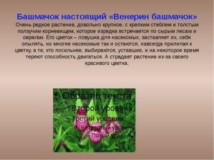 Башмачок настоящий «Венерин башмачок» Очень редкое растение, довольно крупное