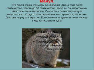 Манул. Это дикая кошка. Размеры ее невелики. Длина тела до 60 сантиметров, хв