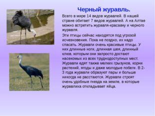 Черный журавль. Всего в мире 14 видов журавлей. В нашей стране обитает 7 видо