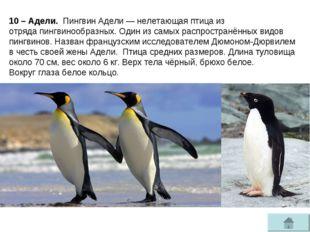 10 – Адели. Пингвин Адели—нелетающая птицаиз отрядапингвинообразных. Один