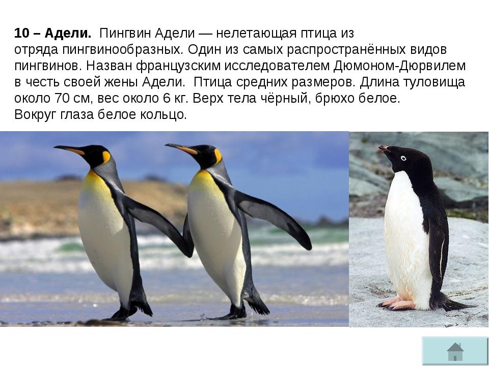 10 – Адели. Пингвин Адели—нелетающая птицаиз отрядапингвинообразных. Один...