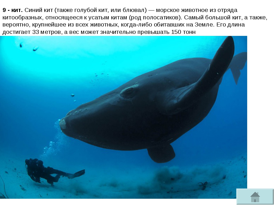 9 - кит. Синий кит(такжеголубой кит, илиблювал)— морское животное из отря...