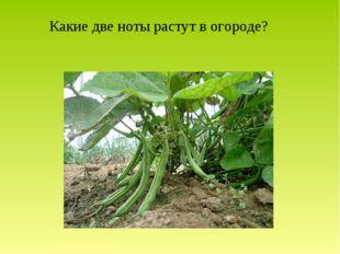 Какие две ноты растут в огороде?