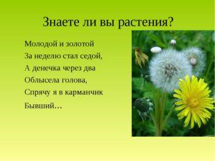 Знаете ли вы растения? Молодой и золотой За неделю стал седой, А денечка чере