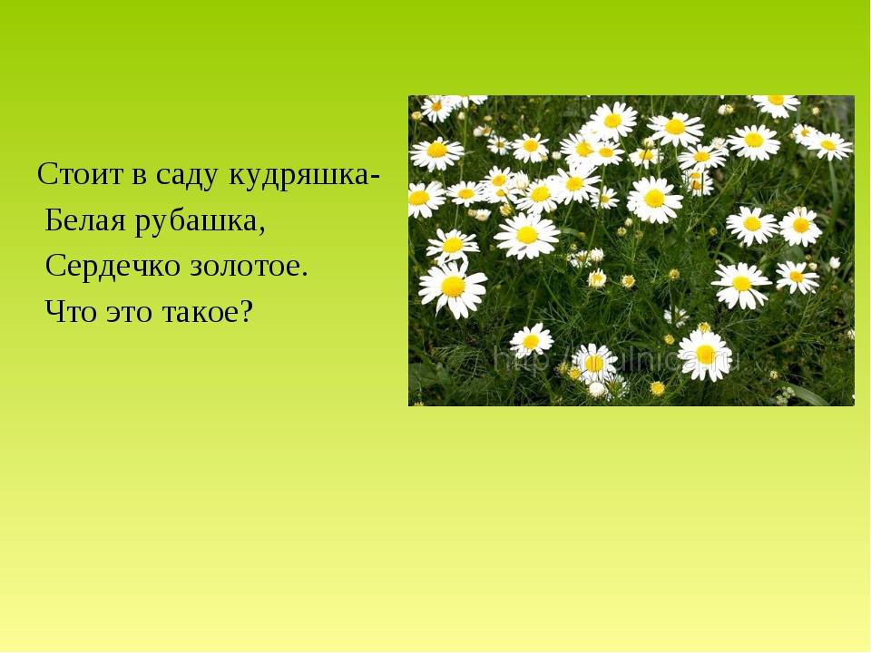 Стоит в саду кудряшка- Белая рубашка, Сердечко золотое. Что это такое?
