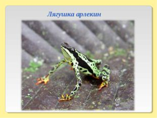 Лягушка арлекин