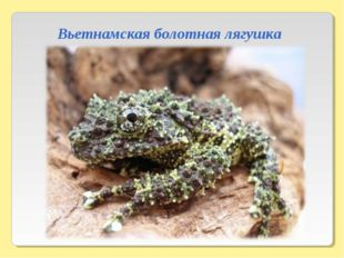 Вьетнамская болотная лягушка