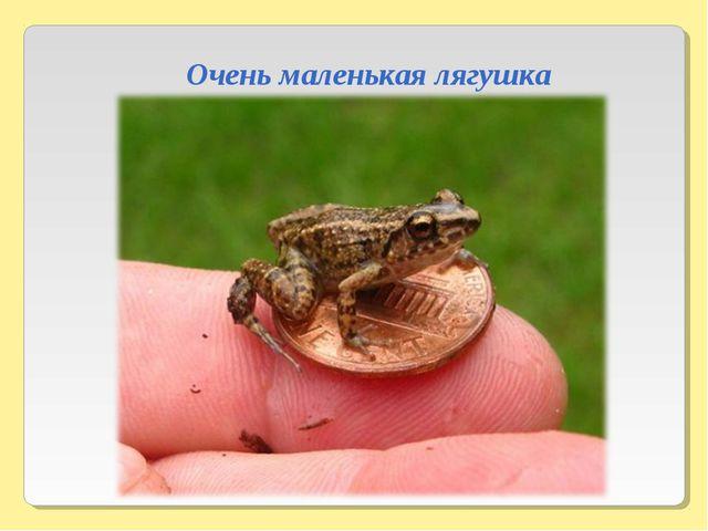 Очень маленькая лягушка