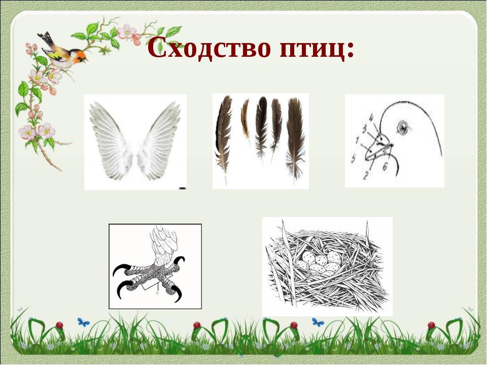 Сходство птиц: